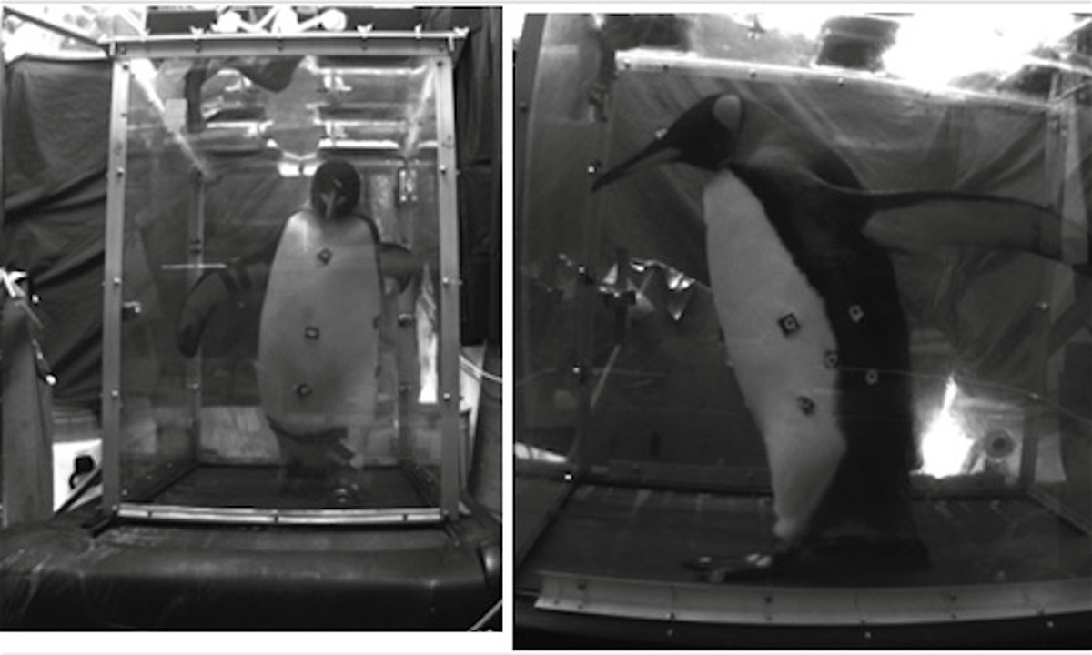 Penguins on a treadmill: analyse depicts fat ones fall over more often than slim ones