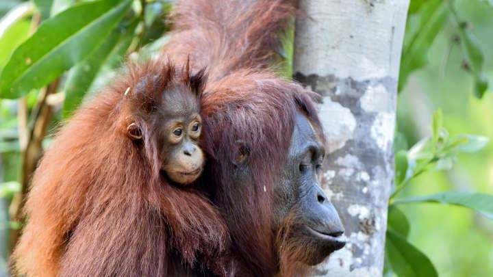 Orangutans Can Breastfeed For Up To A Record-Breaking Eight Years