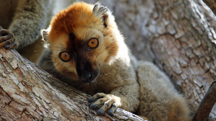 These Lemurs Do Something Rather Clever To Relieve Their Tummy Troubles