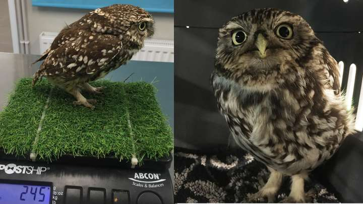Owl Rescued After Being Too Fat To Fly